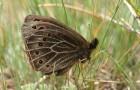 Чернушка африканка, или степная