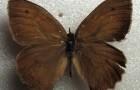 Чернушка круглокрылая, или мраморная