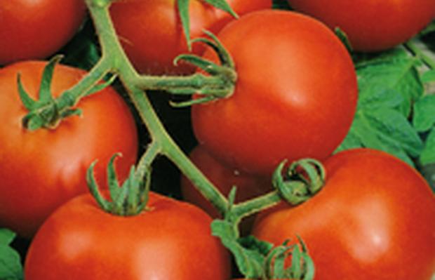 Сорт томата: Дачник