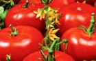 Сорт томата: Дачный любимец