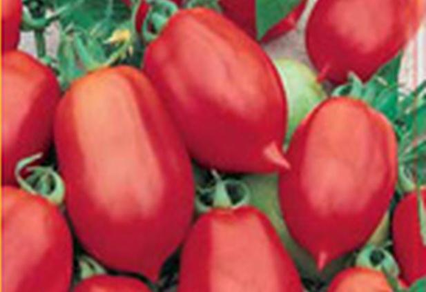 Сорт томата: Далида