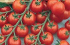 Сорт томата: Детская радость f1