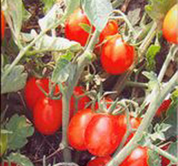 Сорт томата: Детский