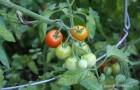 Сорт томата: Диана f1