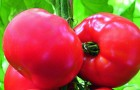 Сорт томата: Диез f1