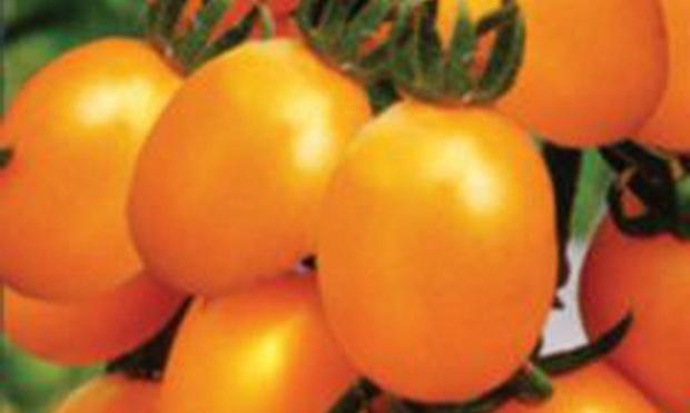Сорт томата: Дивный   f1