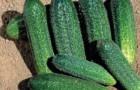 Сорт огурца: Доломит f1