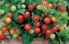 Сорт томата: Домовенок f1