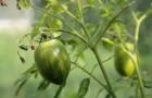 Сорт томата: Донской казак