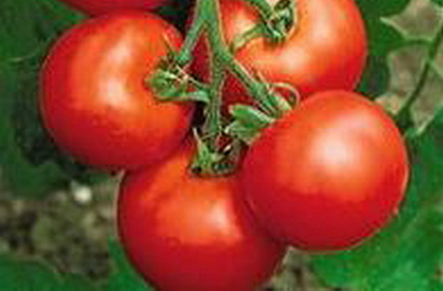 Сорт томата: Дружок   f1