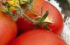 Сорт томата: Друзья-товарищи