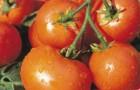 Сорт томата: Дубрава