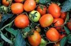 Сорт томата: Дуэл плюс f1