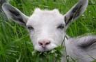 Дурные привычки коз
