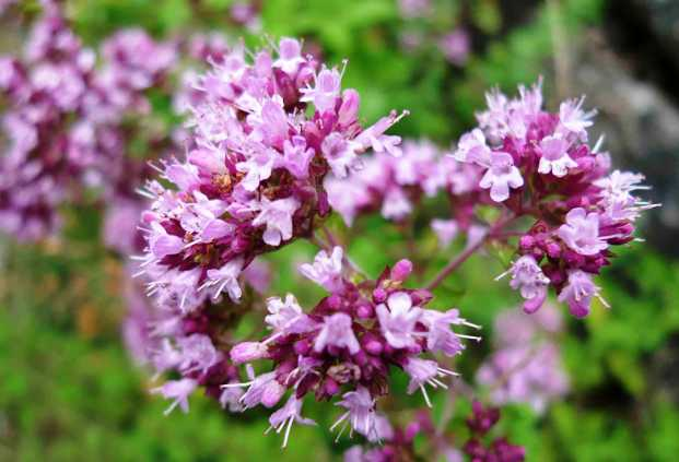 Душица - антиоксидантная приправа  с вашего огорода