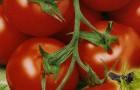 Сорт томата: Дворик