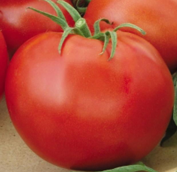 Сорт томата: Джина тст