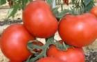 Сорт томата: Екатерина f1