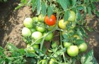 Сорт томата: Евгения