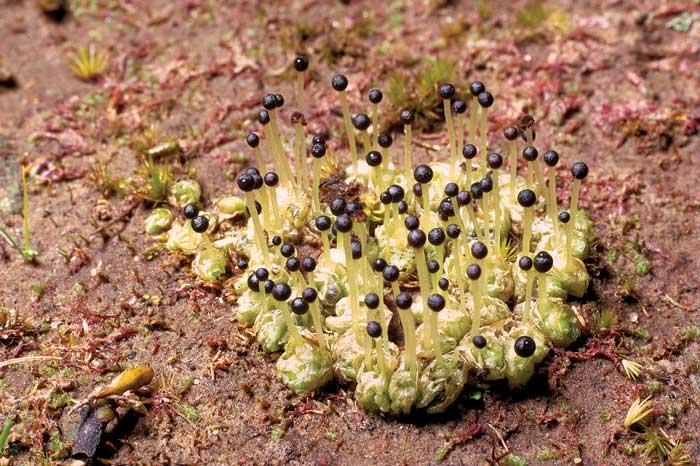 Фоссомброния аляскинская
