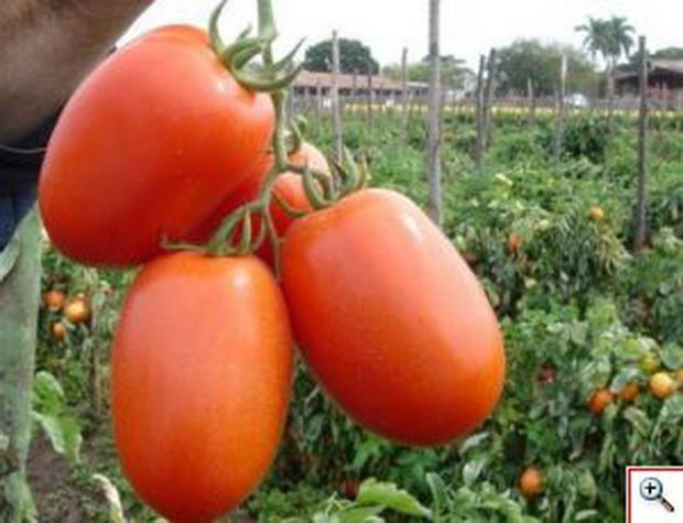 Сорт томата: Галилея   f1
