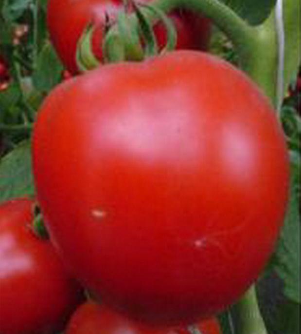 Сорт томата: Гардемарин   f1