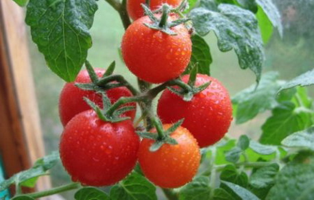 Сорт томата: Гаврош