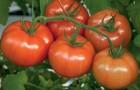 Сорт томата: Гайана f1