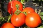Сорт томата: Гектор f1