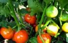 Сорт томата: Гелиус