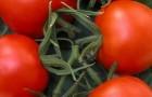Сорт томата: Гердон f1