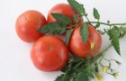 Сорт томата: Гея