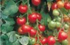 Сорт томата: Гигант