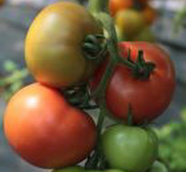 Сорт томата: Гилгал   f1