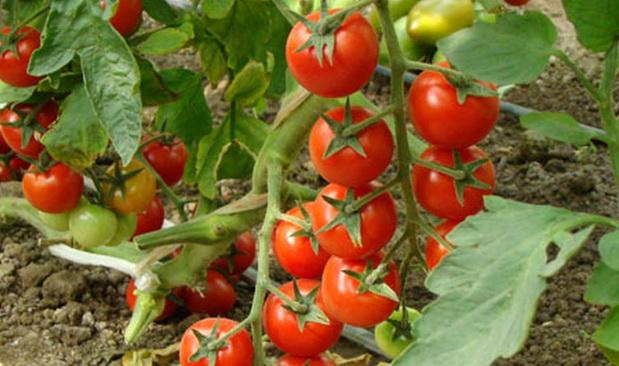 Сорт томата: Гламур   f1