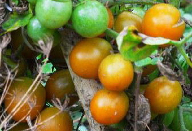 Сорт томата: Голубка