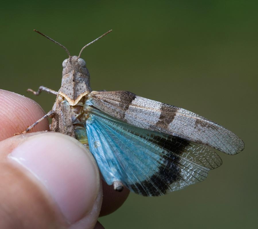 Голубокрылая кобылка
