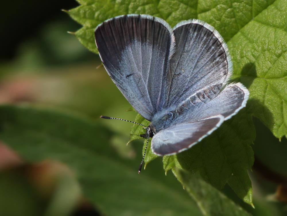 Голубянка аргиолус, или весенняя