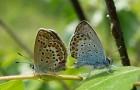 Голубянка аргус
