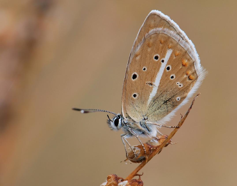 Голубянка азербайджанская