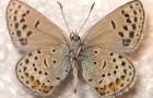 Голубянка дамон