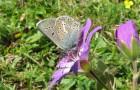 Голубянка эвмедон
