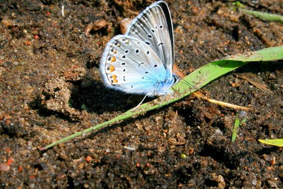 Голубянка эврипил