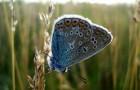 Голубянка филлис