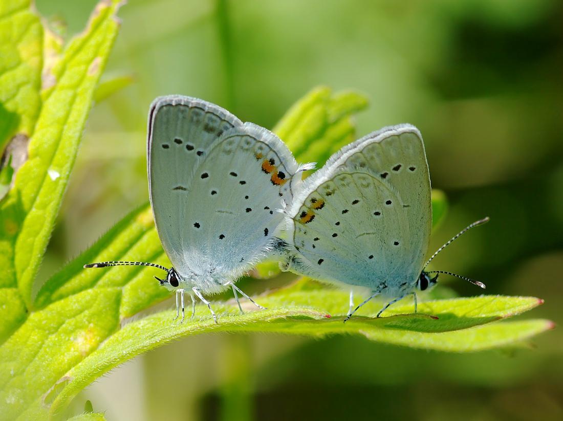 Голубянка горошковая