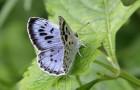 Голубянка искристая