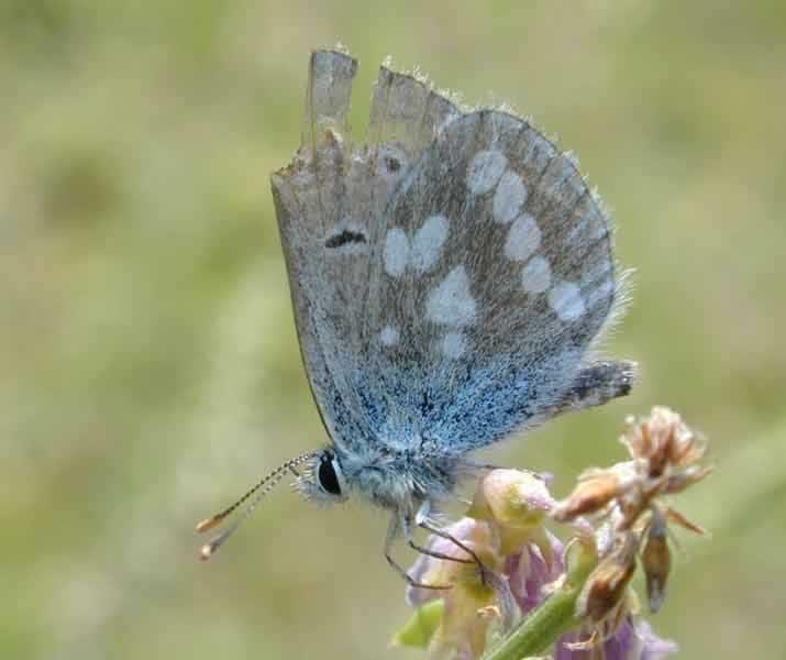 Голубянка киана