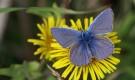 Голубянка предкавказская