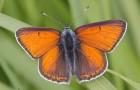 Голубянки-червонцы подсемейства Lycaeninae