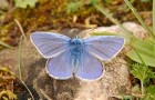 Голубянки подсемейства Theclinae